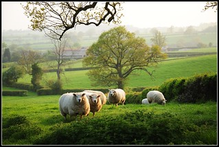 Sheeps......... | by reaspring
