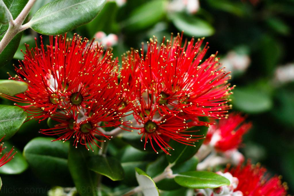 ... New Zealand Christmas Tree | By *vlad*