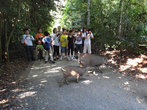 Wild boar crossing! Getting close to nature at the Chek Jawa Boardwalk | by wildsingapore
