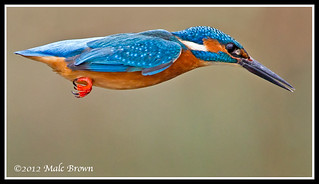 Male kingfisher | by malckingfisher