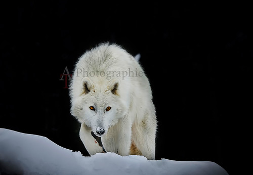 Artic Wolf/ Loup Artique | by beluga 7
