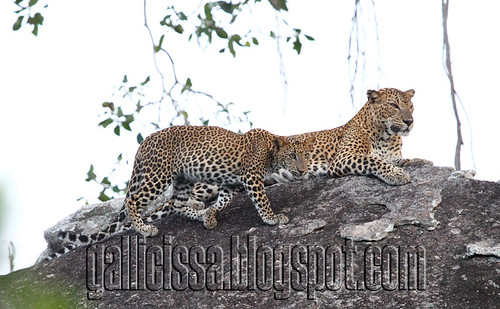Mother and cub, Jamburagala campsite junction | by Gallicissa