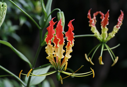Gloriosa superba | by Aries Tottle
