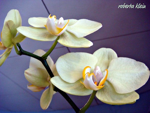 ORCHIDS IN THE CLUBHOUSE | by bobbistarr