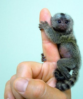 Finger Monkey | by Lucie Patricie