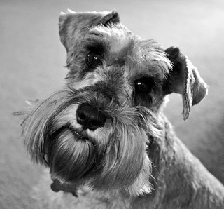 portrait, black and white version | by littlestschnauzer
