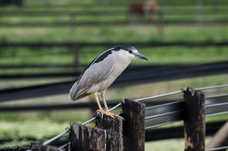 Black-crowned Night Heron | by Rye Jones