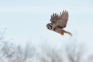 Northern Hawk Owl | by Raymond Lee Photography