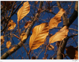 #244 Leaves of sun Explore in December 29th 2011 | by Mem Photo