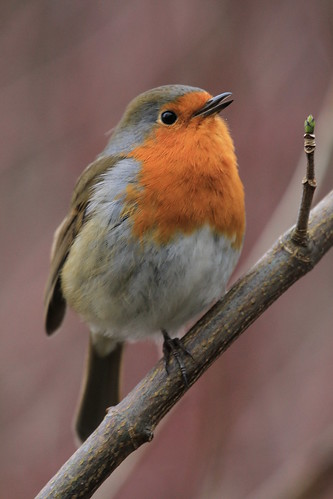A Budding Singer | by Chris*Bolton