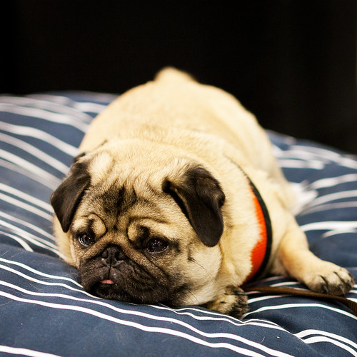 Frank The Pug | by B4YK1D5