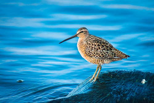 Short-billed Dowitcher | by PopsDigital