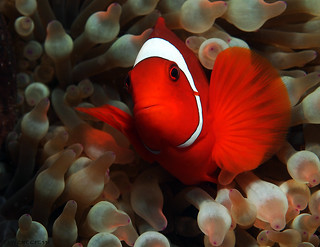 Spinecheek Anemonefish | by divemecressi