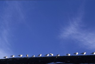 Seagulls on roof | by R C Baker