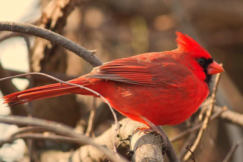 Proud male cardinal | catoledo | Flickr