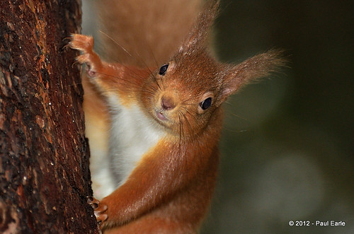 Red Squirrel | by paeuk