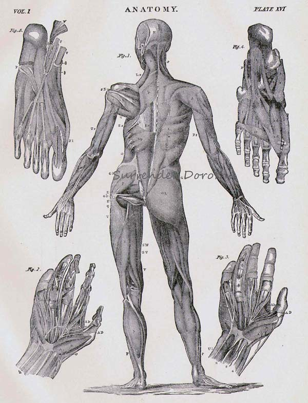 Human Anatomy Muscular System Posterior With Hands Feet Flickr
