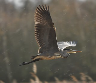 Heron | by dave millers photos