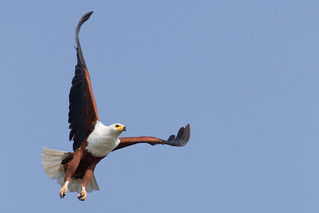 African Fish Eagle | by Hector16