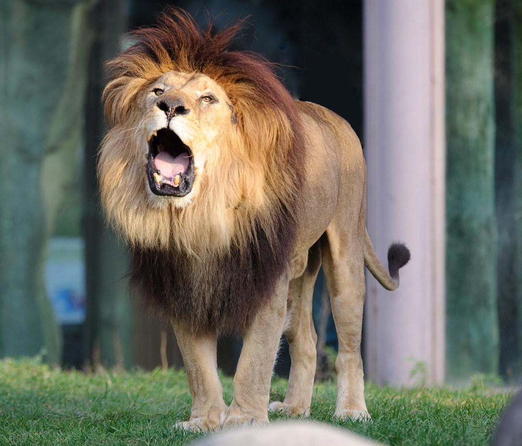 lion roaring eric kilby flickr