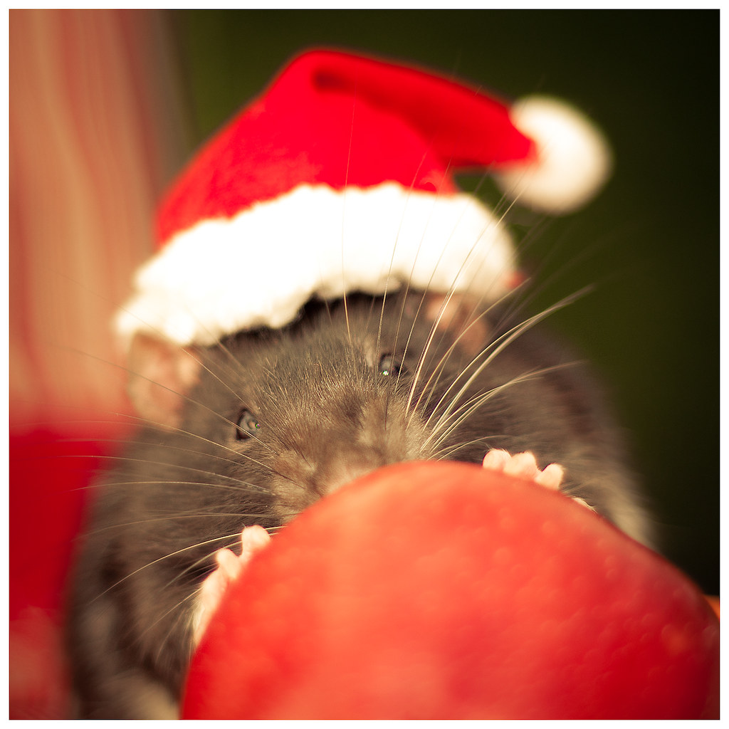 Celebrating christmas - Rat version No. 1 | This is Sputnik,… | Flickr