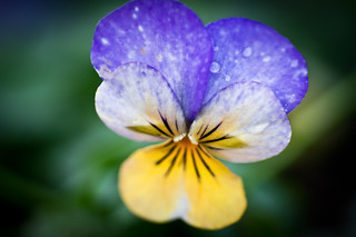 Viola. | by M.W.A. Photography