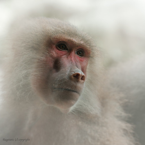 Hamadryas Baboon | by Ragstatic