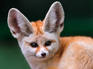 Portrait of a cute fennec | by Tambako the Jaguar