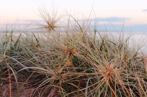 Dune grass | by Punitive Damage