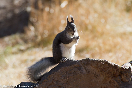 Abert's Tassel-Eared squirrel | Cascavel1 | Flickr