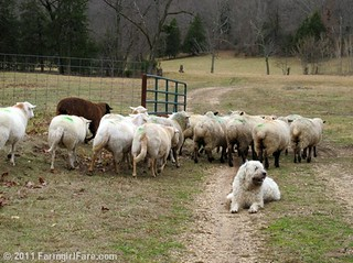 Flock of prego sheep veering around Marta Beast | by Farmgirl Susan