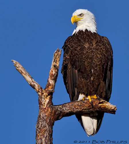 Cape Coral Bald Eagle | by tropicdiver