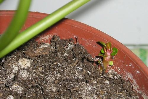 ufopflanze pilea peperomioides ableger archivbild 2005 2 flickr. Black Bedroom Furniture Sets. Home Design Ideas