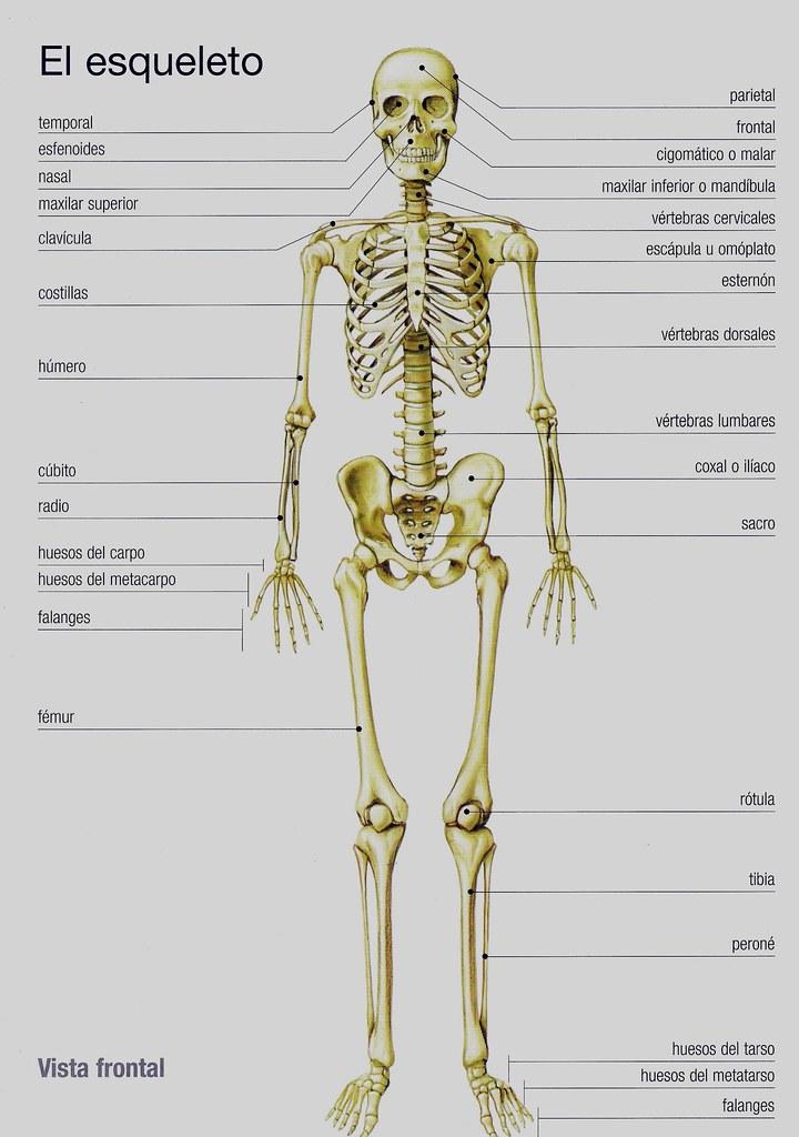 Atractivo Huesos Del Esqueleto Bosquejo - Imágenes de Anatomía ...