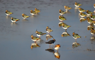 Lapwings | by Jennie Anderson
