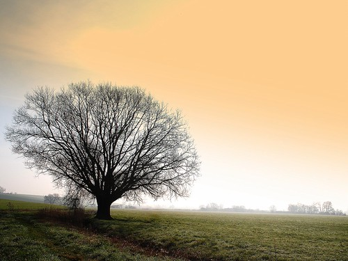 tree in morning mist ( explored ) | by mujepa