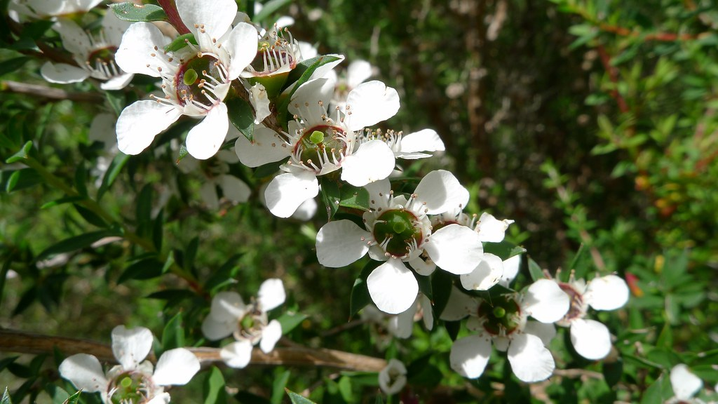 Common Tea-tree