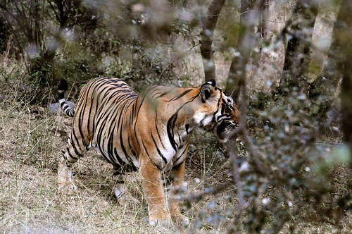 Tiger Tiger burning bright! - T24 at Ranthambhore | by Saumil U. Shah