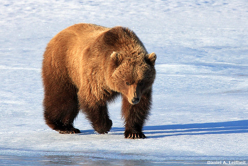 Grizzly Bear at Denali National Park | by Critter Seeker