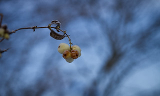 Snebær / Snowberry | by vinergodt