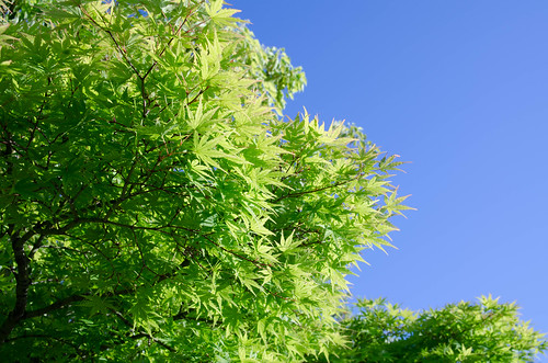 Green maple | by Ebba_oBL