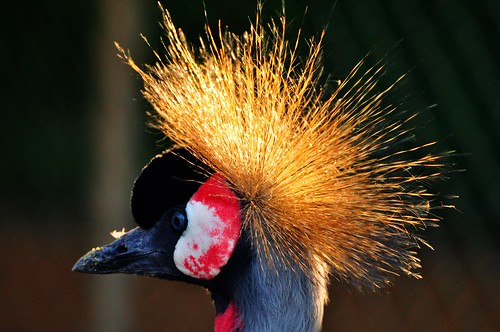 Grey Crowned Crane | by ZILL NIAZI