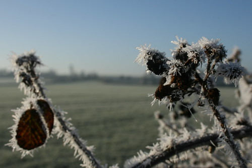 Frosted bramble | by ermintrude75