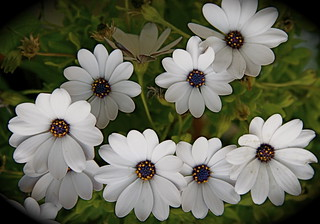 White flowers | by Aslam Kareem