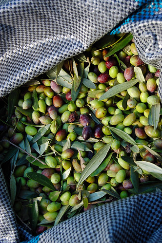 Fresh-picked during the olive harvest on the Greek island of Crete | by Peace Correspondent