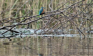 That elusive kingfisher - IMG_4774a | by Alfs photodiary