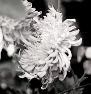 Desaturated Chrysanthemum | by The Brutal Regime / Joseph Dunphy