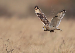 short eared owl | by Karen Summers (kaz10)
