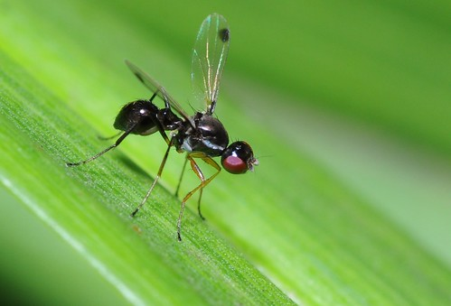 Ant fly, Parapalaeosepsis plebeia | by mark.photos