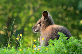 Red-necked Wallaby | by mellting
